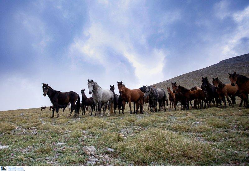 Άγρια άλογα του Ολύμπου: Οι απόγονοι του Βουκεφάλα καλπάζουν ελεύθεροι – Οι απόγονοι του Μεγάλου Αλεξάνδρου αγνοούνται…