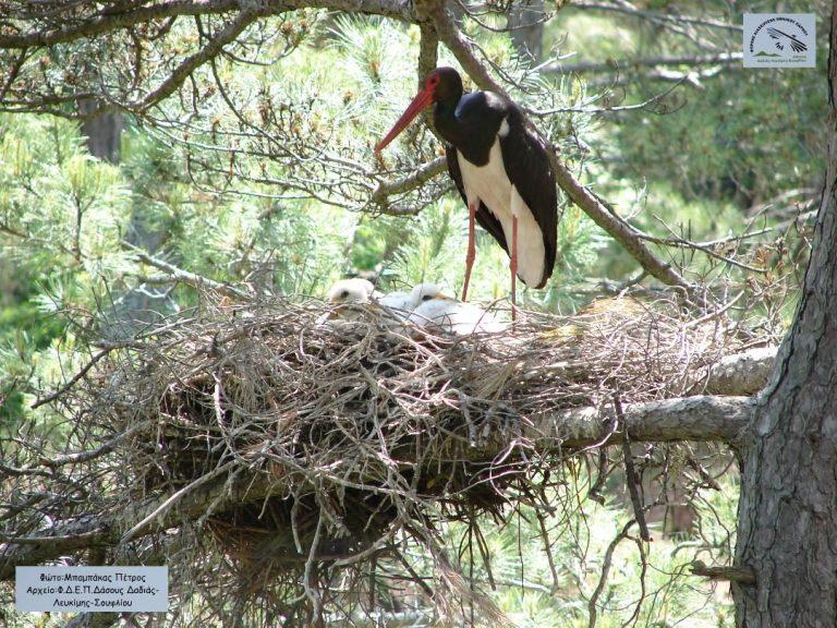 """Γεννητούρια στον """"παράδεισο"""" των πουλιών, το Δάσος της Δαδιάς"""
