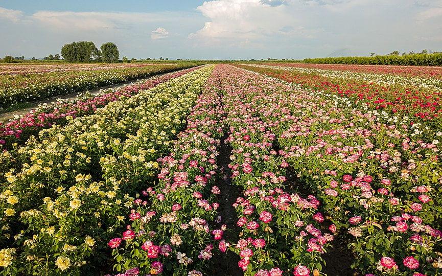 Τριαντάφυλλα από τον κάμπο των Γιαννιτσών «ταξιδεύουν» εκτός συνόρων (φωτογραφίες)