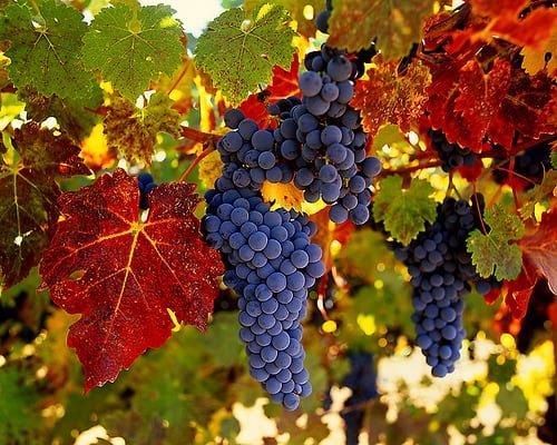 Σταφύλι το 'θαυματουργόν': Οι θεραπευτικές ιδιότητες του βασιλιά των φρούτων!