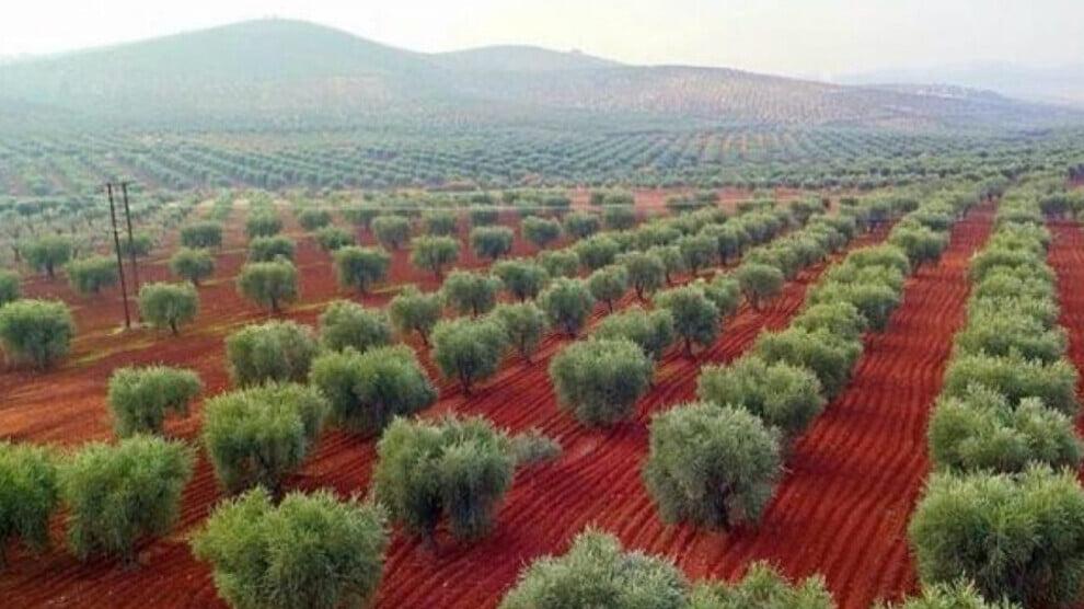 Olives of Afrin plundered