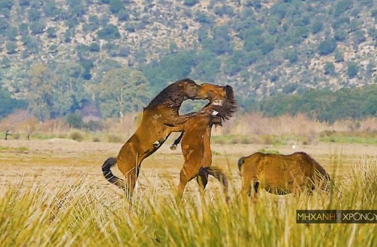 Εντυπωσιακές εικόνες με τα άγρια άλογα που ζουν ελεύθερα στον Λούρο Αιτωλοακαρνανίας. Προέρχονται από την σπάνια φυλή της Πίνδου που «πρωταγωνίστησε» στο Έπος του 40