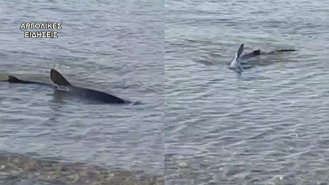 Σοκαριστικό βίντεο: Μεγάλος καρχαρίας κολυμπά στα ρηχά παραλίας του Ναυπλίου