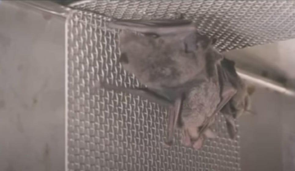 Βίντεο με νυχτερίδες σε εργαστήριο της Ουχάν πυροδοτεί νέα σενάρια για την προέλευση του κορωνοϊού